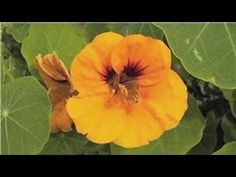 Nasturtium - edible flower, pretty, easy to grow