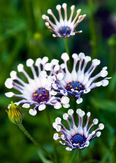 Whirligig Daisies at Butchart Gardens, British Columbia, Canada Unusual Flowers, Unusual Plants, Rare Flowers, Exotic Plants, Amazing Flowers, Beautiful Flowers, Purple Flowers, Orchid Flowers, Dream Garden