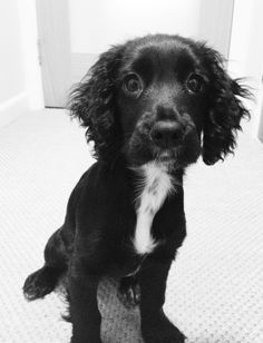 Working Cocker Spaniel puppy - Mollly