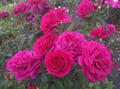 Princess Elise #heirloomroses #englishrose