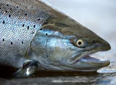 Monster seatrout - S