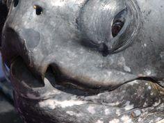 leatherback turtle, closeup of face