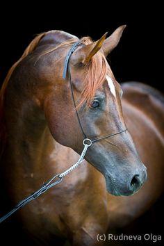 Arabian stallion Элвис (Elvis)