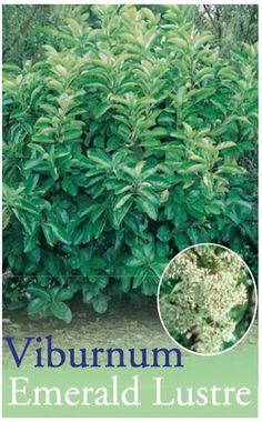 """Viburnum tinus """"Emerald Lustre"""" Viburnum x 6"""
