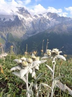 Edelweiss (Leontopodium alpinum) ~ growing  all over the European Alps above the tree line 1800-3000 m (5900-9800 ft).