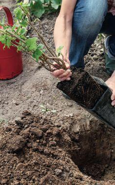 Wenn sie einen Obststrauch wie die Schwarze Johannisbeer 'Silvergieters' einpflanzen wollen, sollten sie das Pflanzloch groß genug ausheben