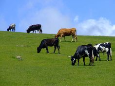 Vacas Past, Cow, Animals, Cows, Ranch, Animais, Animales, Animaux, Animal