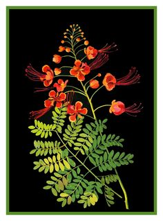 Poinciana can refer to: Delonix regia or royal poinciana, a tree; Caesalpinia pulcherrima, a shrub; Poinciana, a synonym of the legume genus Caesalpinia , Mary Delany Gravure Illustration, Plant Illustration, Botanical Illustration, Botanical Drawings, Botanical Prints, Art Floral, Create Collage, Guache, Needlepoint Patterns