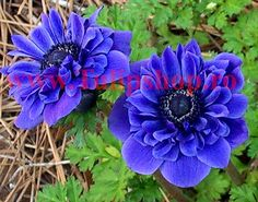 View picture of Grecian Windflower, Poppy Anemone & Lieutenant& (Anemone coronaria) at Dave& Garden. All pictures are contributed by our community. Spring Plants, Plants, Garden, Annual Plants, Bulb Flowers, Poppies, Fall Flowers, Anemone, Perennials