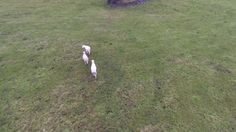 Using drone to herd sheep Phantom 4 Drone, Farming, Sheep, Sky, Photo And Video, Crochet, Funny, Crocheting, Heaven