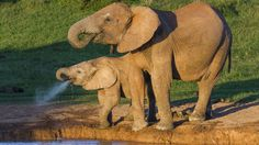 Elephants have enhanced defences against cancer that can prevent tumours forming, say scientists.
