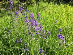 Wandering Through The Bluebell Wood In Ashridge British Countryside, Wander, Natural Beauty, Earth, Wood, Nature, Plants, Naturaleza, Woodwind Instrument
