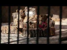 🔒 #CloseCruelCages 🦁🐻🐯: Großkatzen und viele andere Wildtiere leiden in kleinen, ungeeigneten Käfigen in bulgarischen Zoos! Einige Zoos in Bulgarien erhielten eine Lizenz, obwohl sie die Anforderungen der EU-Zoorichtlinie nicht erfüllen. Obwohl viele der Einrichtungen immer noch nicht die Mindestvoraussetzungen für einen legalen Betrieb erfüllen, sperren sie die Tiere weiterhin in engen Käfigen ein und nutzen sie als Attraktion für die Besucher. Jedes für Löwen oder Tiger errichtete… Radios, Protection Animale, Zoos, Tiger, Adoption, Painting, Self, Animal Protection, Wild Life