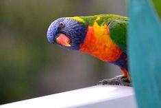 Rainbow lorikeet split into six different species after bird experts reach consensus Valley Game, Wild Eyes, Rare Species, Australian Animals, Backyard Birds, Cockatoo, Abc News, Western Australia, Pet Birds