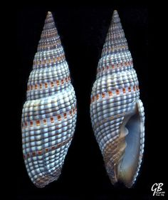 Vexillum sanguisuga L., 1758 - Is.Salomone by giubit, via Flickr