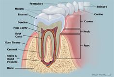 Healing cavities with oil-pulling (graphic from: http://www.webmd.com/oral-health/picture-of-the-teeth )