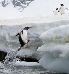 Pengy takes a leap of faith...