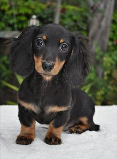 Black and Tan Longhair Doxie Puppy