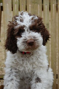 i have wanted a lagotto romangalo puppy since approximately the third week of last november. they are from italy, they hunt for truffles, and they look like this. enough said.