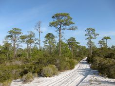 Florida. St. Joseph Peninsula State Park. Southeastern conifer forests  Licença. Author: Miguel Vieira. This picture is under Creative Commons Attribution 2.0 Generic license.