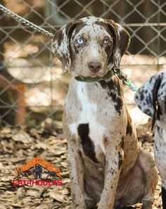 Red Leopard Catahoula Female Sasquatch Catahoulas in Ga www.facebook.com/SasquatchCatahoulas