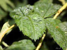 Regentropfen auf Rosenblättern