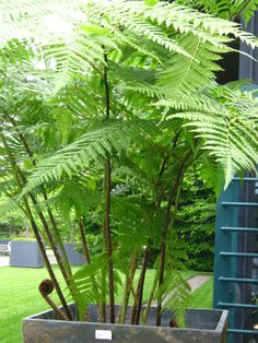 Instant Outdoor Room with large Australian Tree Fern art design landspacing to plant Australian Tree Fern, Australian Native Garden, Fern Plant, Trees To Plant, Exotic Plants, Tropical Plants, Outdoor Plants, Outdoor Gardens, Inexpensive Landscaping