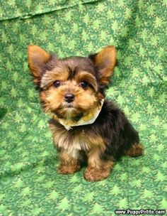 Yorkies are way too cute for words! Puppy Petite - Yorkie