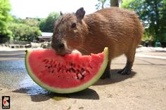 They also eat watermelon. | After Looking At These Photos You Will DEFINITELY Want A Capybara