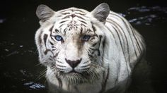 Wetenschappers hebben het genetisch mechanisme ontdekt dat sommige Bengaalse tijgers een witte vacht geeft.