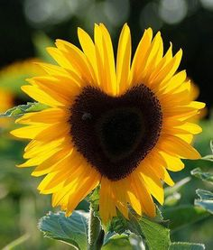 Sunflower with a beautiful heart.