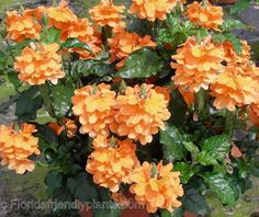 Crossandra Orange Marmalade is a standout perennial and always available at your Florida Home Depot garden centers from Riverview Flower Farm's Florida Friendly Plants ™