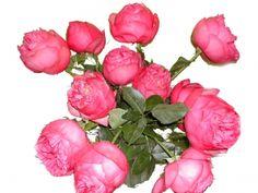 """German garden rose """"Waltzertraum"""""""