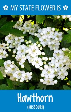 #Missouri's state flower is the Hawthorn. What's your state flower? http://pinterest.com/hometalk/hometalk-state-flowers/