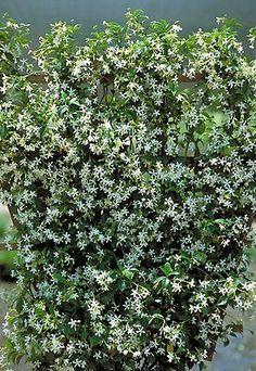 Amazon.com : Jasmine 'Star' Plant Jasminum Nitidum- FRAGRANT : Patio, Lawn  Garden