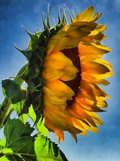 beautiful sunflower in Kansas - would like to see Smith County, Kansas