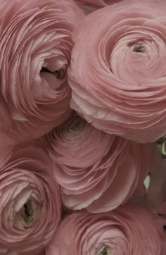 hot pink ranunculus the sisters to peonies