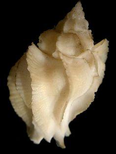 Muricidae - Poirieria Poppei, Philippines Balut Island