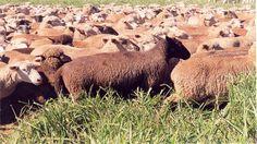 Principais Raças de Ovelhas de Corte - Curso CPT Criação de Ovinos de Corte