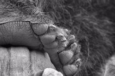 Grizzly Bear Paw Black And White