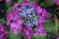 Hydrangea macrophylla Selina from Woodleigh Nursery Or Violet, Dutch Women, Hydrangea Macrophylla, Plant Catalogs, Growing Plants, Plymouth, Perennials, Pink Blue, Nursery