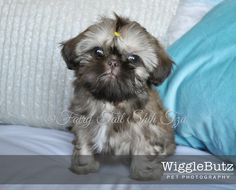 Blossom - Fairy Tail Shih Tzu-Tiny Teacup Imperial Shihtzu Puppy for Sale