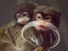 Emperor Tamarin Monkey | Emperor Tamarin | Info and Photos 2012