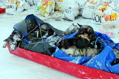 LAST YEAR IN MARCH  would love to see this in person... ..Stay warm Dogs are transported on a sled behind a snow machine in Unalakleet, Alaska, Monday. The dogs were part of a caravan that brought four-time champion Jeff King back to Unalakleet after he scratched Sunday.