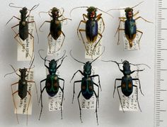 Typology of Peruvian tiger beetles. London Natural History Museum collection.