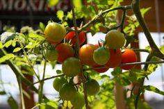 Πρωτάρης φυτεύει ντοματίνια σε γλάστρα