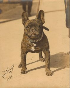 Count Bozo,French Bulldog! 1920