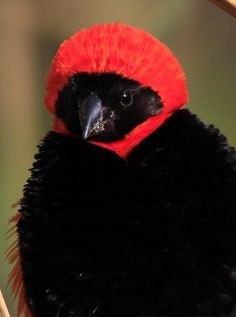 Male Southern Red Bishop, or Red Bishop, Euplectes orix at Rietvlei Nature Reserve, South Africa, #bird #picture by Derek Keats, via Flickr