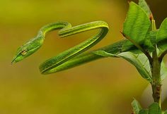 """Green Vine Snake. From my Facebook page """"Animals are Awesome"""". Animals, Wildlife, Pictures, Photography, Beautiful, Cute."""
