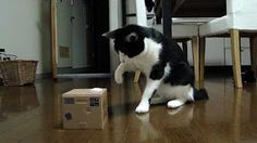 Interactive cat toys, cat toys, cat products for cats, cat stuff. Pop Up Cat in Box. Interactive Cat Toy. Hours of Fun!!